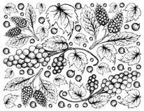 Disegnato a mano dell'uva di Assyrtiko e di Amora Verde Berries Fotografie Stock