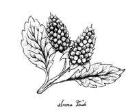 Disegnato a mano di Amora Verde Berries su fondo bianco Immagine Stock