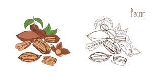 Disegni colorati e monocromatici del pecan nelle coperture e sgusciato con le foglie Drupa o dado commestibile deliziosa disegnat illustrazione di stock
