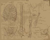 Disegni di anatomia umana Immagini Stock Libere da Diritti