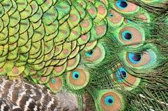 Disegno astratto della piuma del pavone Fotografia Stock