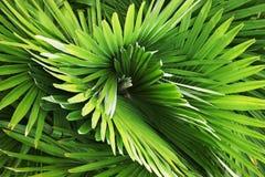 Disegno capriccioso delle foglie di palma Fotografia Stock