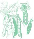 Disegno d'annata di verdure dei piselli Fotografie Stock Libere da Diritti