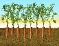 Disegno de Fila di carote e Fotos de archivo