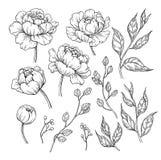 Disegno del fiore e delle foglie della peonia Vettore Flor incisa disegnata a mano Fotografie Stock