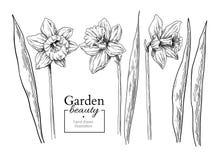 Disegno del fiore e delle foglie del narciso Vettore f incisa disegnata a mano royalty illustrazione gratis