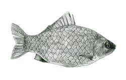Disegno di schizzo del branzino del pesce Fotografia Stock