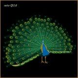 Disegno di un pavone realistico su un fondo nero fotografia stock