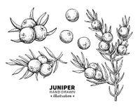 Disegno di vettore del ginepro Illustrazione d'annata isolata della bacca sul ramo Schizzo inciso organico di stile dell'olio ess Fotografia Stock Libera da Diritti
