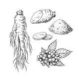 Disegno di vettore del ginseng Schizzo della pianta medicinale Botanico inciso Immagini Stock