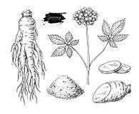 Disegno di vettore del ginseng Schizzo della pianta medicinale Botanico inciso Fotografie Stock