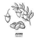 Disegno di vettore del jojoba Illustrazione d'annata isolata di frutta Schizzo inciso organico di stile dell'olio essenziale Fotografie Stock Libere da Diritti