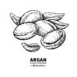 Disegno di vettore dell'argania spinosa Illustrazione d'annata isolata del dado org Fotografia Stock