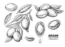 Disegno di vettore dell'argania spinosa Illustrazione d'annata isolata del dado org Immagine Stock Libera da Diritti