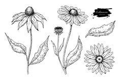 Disegno di vettore dell'echinacea Fiore e foglie isolati di purpurea Illustrazione incisa di erbe di stile Fotografie Stock Libere da Diritti