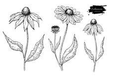Disegno di vettore della calendula Fiore e foglie medici isolati Illustrazione incisa di erbe di stile Fotografie Stock Libere da Diritti