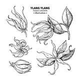 Disegno di vettore di ylang ylang Illustrazione d'annata isolata di me Fotografia Stock