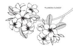 Disegno e schizzo del fiore di plumeria Fotografia Stock Libera da Diritti