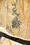 Disegno fossile Fotografie Stock