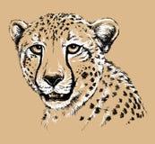 Schizzo del fronte di un ghepardo Fotografia Stock