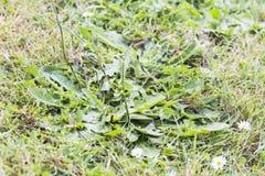 Diserba i parassiti dei parassiti nell'erba del prato inglese Fotografia Stock Libera da Diritti