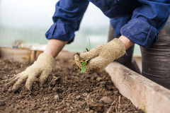 Diserbando nell'orto, primo piano Mani femminili in guanti Cura di concetto delle piante culturali Fotografia Stock Libera da Diritti