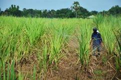 Diserbante di spruzzatura dell'agricoltore sul giacimento della canna da zucchero Immagini Stock Libere da Diritti