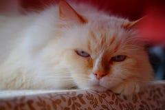 Disfarce bonito de Neva da raça do gato Foto de Stock