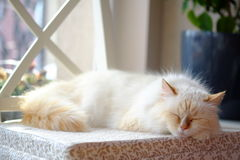Disfarce bonito de Neva da raça do gato Fotografia de Stock Royalty Free