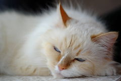 Disfarce bonito de Neva da raça do gato Imagem de Stock Royalty Free