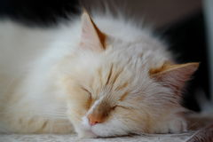 Disfarce bonito de Neva da raça do gato Foto de Stock Royalty Free