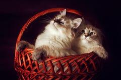 Disfarce bonito de Neva do gatinho dois que senta-se na cesta, espreitando o Imagem de Stock Royalty Free