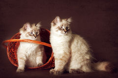 Disfarce bonito de Neva do gatinho dois que senta-se na cesta, espreitando o Imagens de Stock