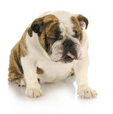 Disgusted dog Royalty Free Stock Photography