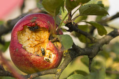 Disgusting apple. Close-up of disgusting broken apple on tree eaten by fly and wasp stock photos