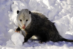 Disgusting Possum. Sluggish, blood drooling possum in the snow Royalty Free Stock Images