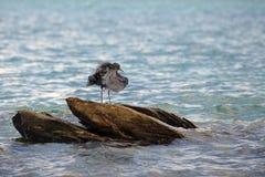 Disheveled  black crane on rock. Disheveled  black crane on coastal rock Royalty Free Stock Images