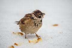 A disheveled funny bird sparrows. Bread crumbs in the snow Royalty Free Stock Images
