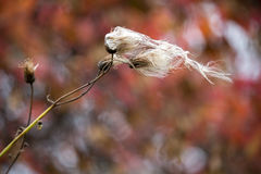 Disheveled in the wind. A blade of grass blown about in the wind, bowed and bent Stock Images