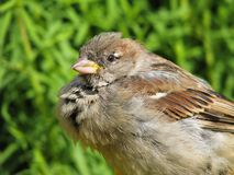 Dishevelled sparrow Royalty Free Stock Photography