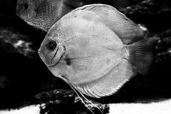 Diskus异乎寻常的鱼水族馆动物异乎寻常的颜色 免版税库存照片