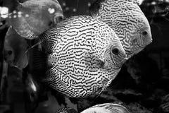 Diskus异乎寻常的鱼水族馆动物异乎寻常的颜色 图库摄影