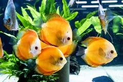 Diskus异乎寻常的鱼水族馆动物异乎寻常的颜色 免版税库存图片