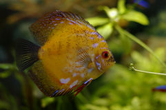Diskus. Aquarium fish of Diskus, by the closeup Stock Image
