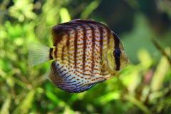 Diskus dans l'aquarium Image libre de droits