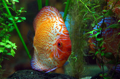 Diskus fish. In a tank royalty free stock photos