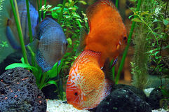Diskus fish. In a tank stock photography