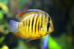 Diskus fish Royalty Free Stock Images
