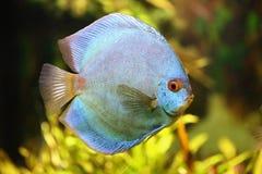 Diskus in het aquarium Stock Foto's