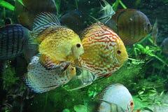 Diskus im Aquarium Lizenzfreies Stockfoto